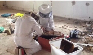 Actuació de Senplag per despenjar un rusc d'abelles